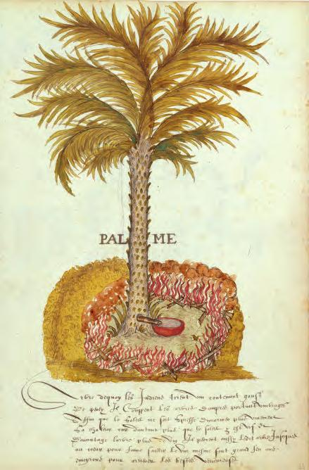 Botanical drawing of a palm tree