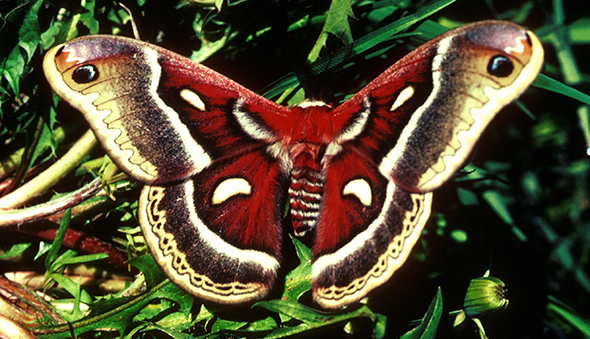 Cecropia moth with wings extended, on grass