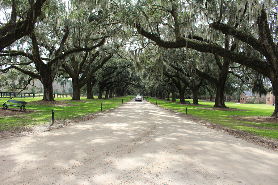 A seemingly endless corridor of trees, dripping with pale green moss, encloses the drive.