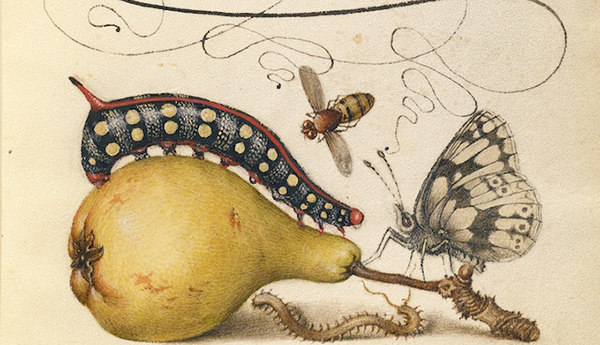 Botanical drawing of a pear, a caterpillar, and a butterfly